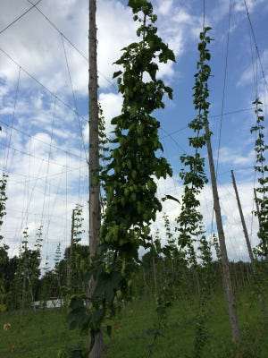 Hops grow on vines at the Dutchess Hop yard in LaGrange.