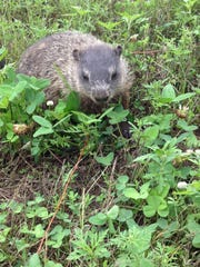 A woodchuck along a trail at Rib Mountain State Park. An entry in the Oct./Nov. 2014 trail camera photo contest sponsored by Mills Fleet Farm.