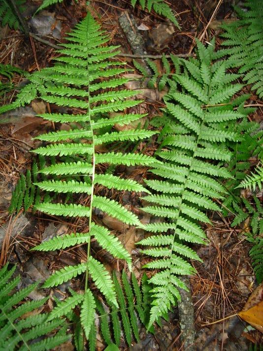 bog fern_Parathelypteris simulata_ 6-23-05, Sussex Co._W.A. McAvoy.JPG