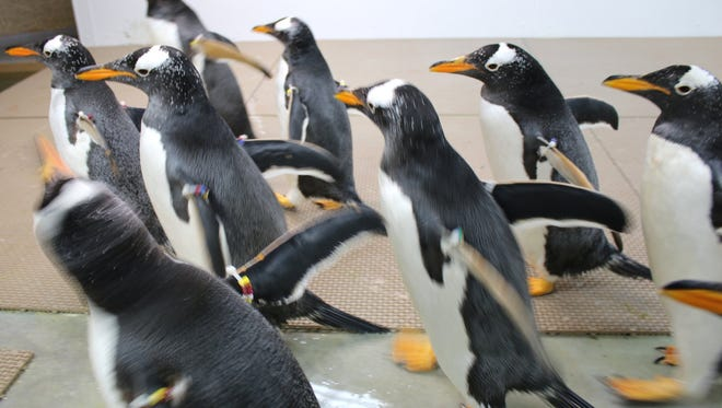 Twenty gentoo penguins, 10 females and 10 males, arrived earlier in December 2015 via FedEx from an aquarium in California and are chilling in a special quarantine area at the Penguinarium at the Detroit Zoo in Royal Oak. The Polk Penguin Conservation Center is under construction on a 2 acre site just inside the Detroit Zoo's entrance and is slated to open in April.