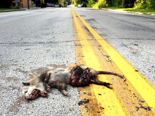 The remains of a roadkill opossum near the center of 124th Street south of Greenfield Avenue make for a messy cleanup.. The centerline divides Waukesha County and the city of New Berlin to the left, and Milwaukee County and the city of West Allis to the right.