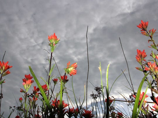 Indian Paintbrush plants glow red against a threatening