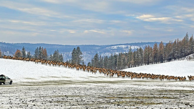 In this Jan. 18, 2017, photo provided by the Oregon Department of Fish and Wildlife, elk feed at the Wenaha Wildlife Area near Troy, Ore. A heavy snowfall this winter in the Pacific Northwest and other parts of the West has caused travel delays and other problems for people, but wildlife are also suffering, from deer and elk whose food sources are buried under snow and ice to cougars that had to forage in an Oregon town.