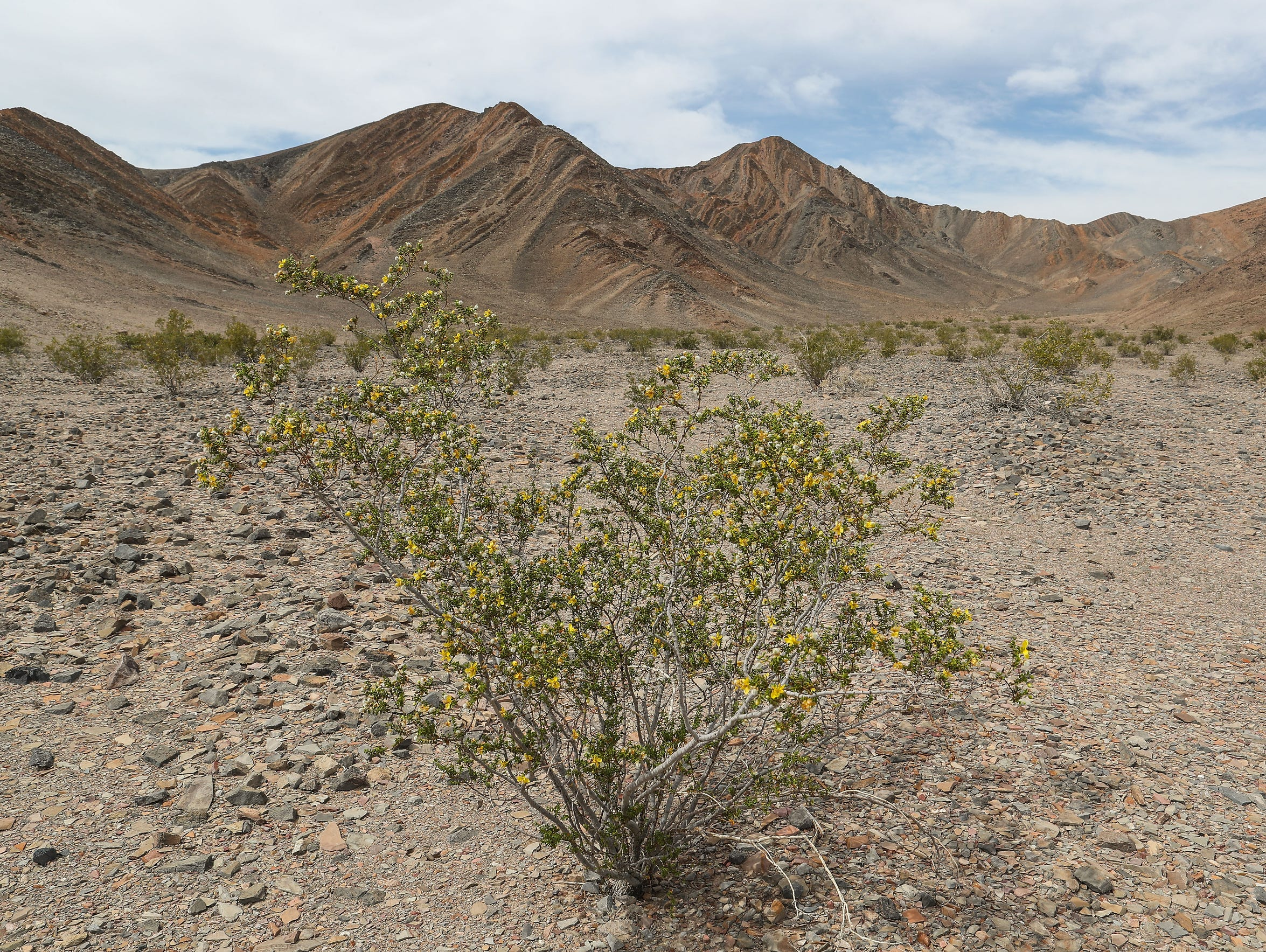 A creosote bush flowers near the Ibex Hills in the Mojave Desert of California.