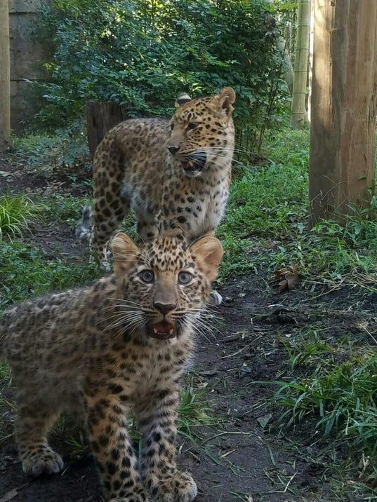 636415832645082370-Leopard-Cubs-9.20.17.jpeg