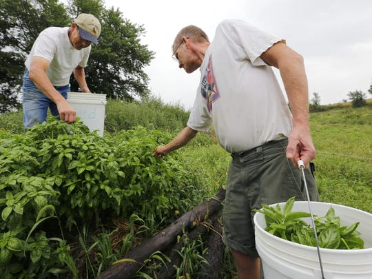 Chemical-free farmers Patrick Standley, right, and Matt Russell harvest basil on their farm near Lacona on Sept. 5, 2014. They're preparing for the Des Moines Farmers' Market.