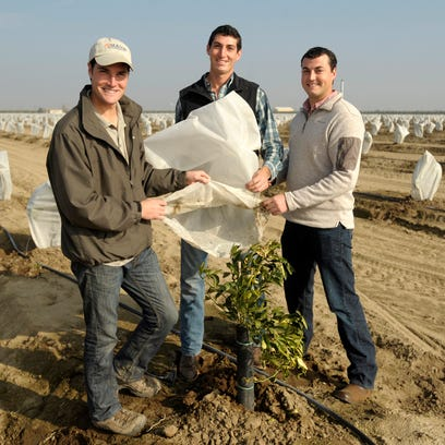 Brothers RogerCox, left, Greg Cox and Ryan Cox show off their TreeGloves used to protect one year old citrus trees in an orchard southeast of Dinuba.