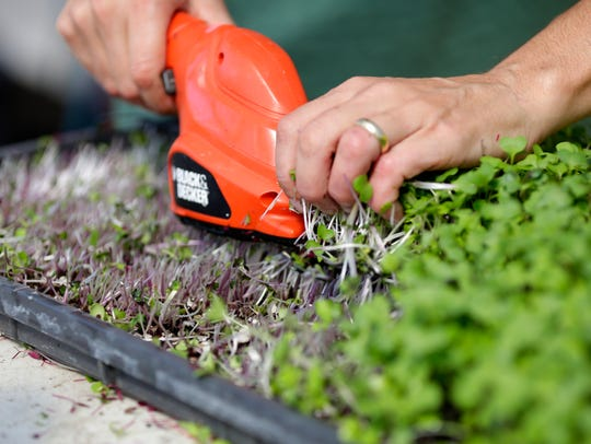 Microgreens, healthy vegetable shoots used commonly