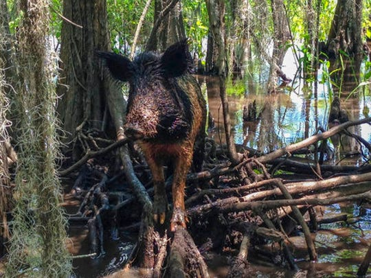 A wild boar walks in a swamp near Slidell, La. In this  2017, photo. Feral hogs are a serious problem for many states in the southern US.