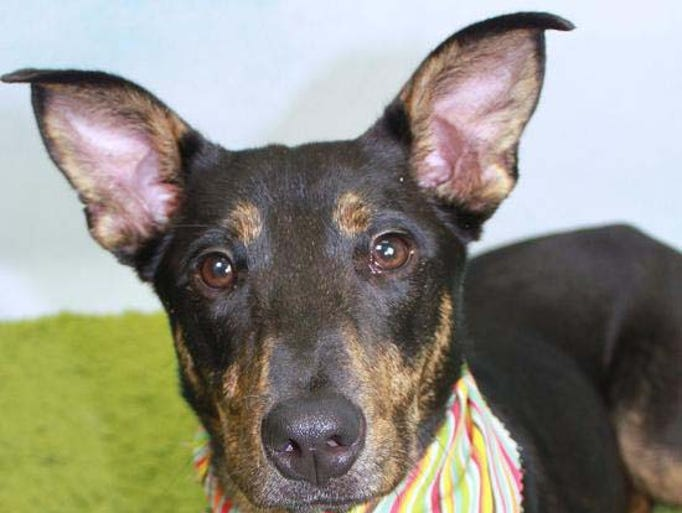 Peanut Butter is an active and playful gal. She is learning the commands sit, stay, leave it, and down.  She is very eager to please. She is high energy, smart, loving and ready to go home with you! Animal ID: A111323. Catahoula/Terrier Mix. Female. 10 months. 33 pounds. To adopt, visit Metro Animal Control, 5125 Harding Place. Call 615-862-7928. Open 10 a.m.-4 p.m. Tuesday-Saturday.
