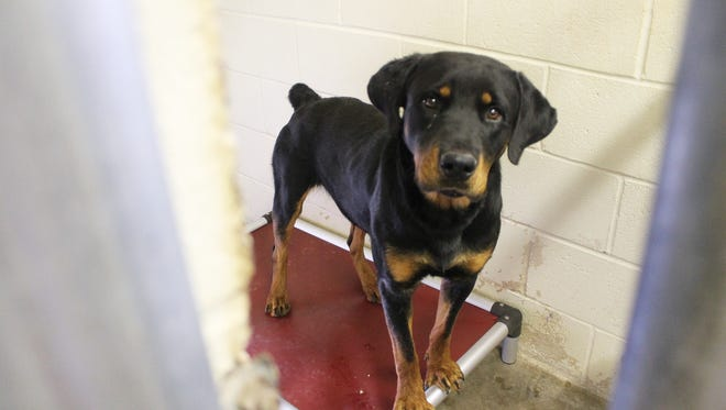 Bo, a Rottweiler waiting for someone to adopt him from Animal Control, enjoys his new bed on Friday afternoon. Bo is young, friendly, housebroken, leash trained and gets along with other dogs.