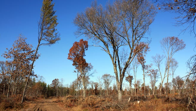 Jack pines and towering oaks dominate the barrens landscape in Buckhorn State Park near Necedah.