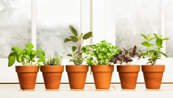 Springtime is a great time to start herbs on a window sill.