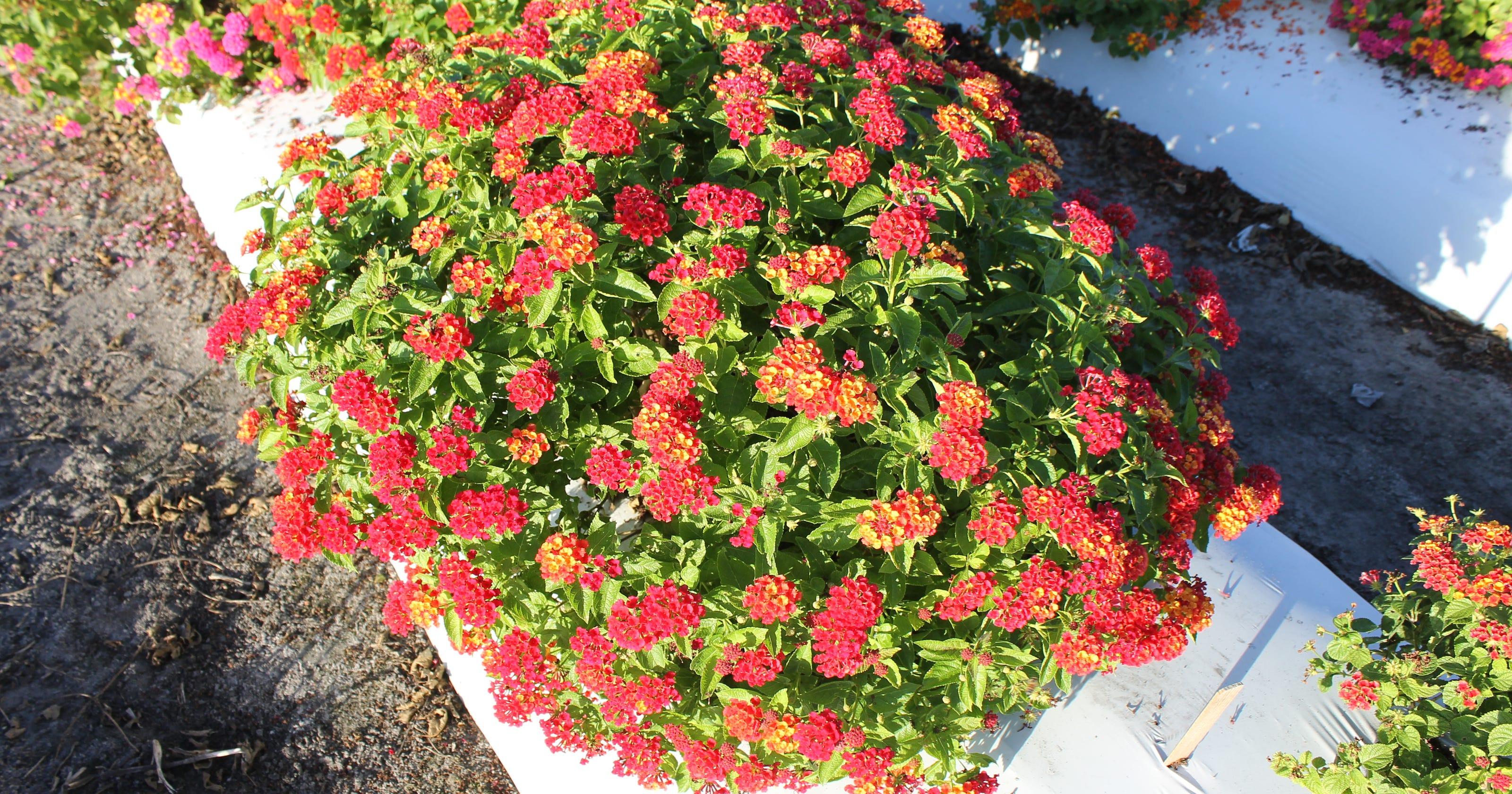 New Lantana Variety Protects Native Flora