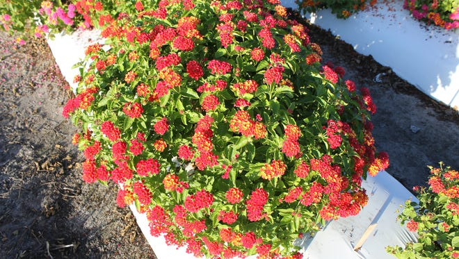 New lantana Bloomify Red  won't produce fruit and seeds.