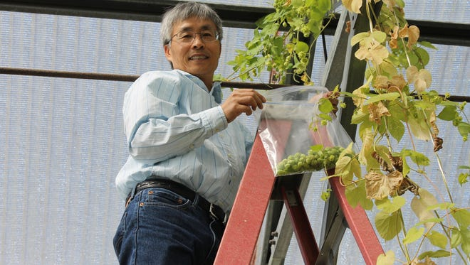 Zhanao Deng, one of the researchers on the hops project is seen working with hops at the UF/IFAS Gulf Coast Research and Education Center.