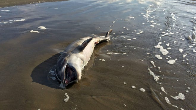 """In this photo taken May 10,  a dead dolphin washes ashore in the Gulf of Mexico on Grand Isle, La. National Oceanic and Atmospheric Administration (NOAA) scientists stated in a report released Wednesday, May 20, 2015, that there are links between BP's catastrophic 2010 oil spill and a spate of dolphin deaths since the spill. The study is part of a wide-ranging assessment of ecological damage caused by the spill. BP has rejected that contention and said necropsies of dolphins and """"other information reveal there is no evidence"""" to make the link between the spill and dolphin deaths."""