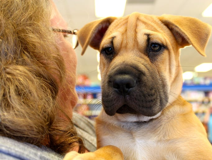 The adorable shar pei mix puppy available for adoption enjoys the