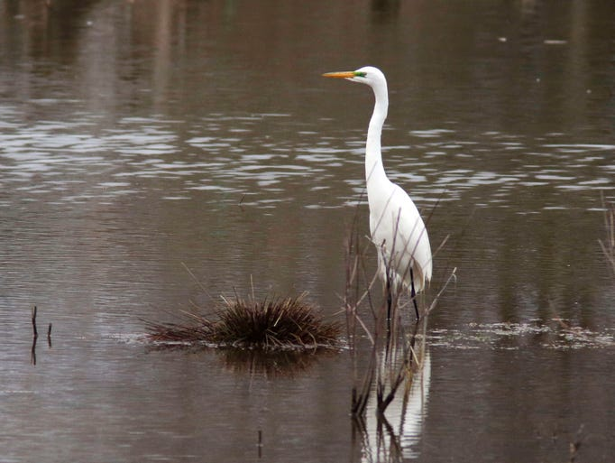 A great white egret looks about in the pond near Taylor
