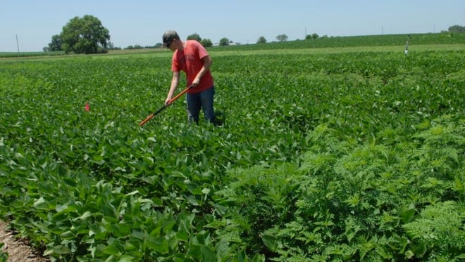 The experimental plots required weeding to maintain the right ragweed densities, and to remove other weeds.