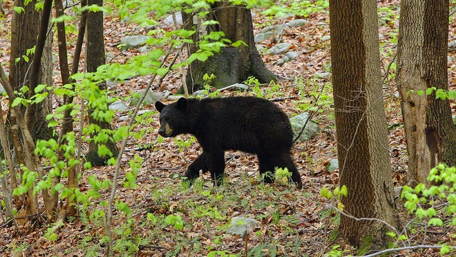 The first four days of New Jersey's annual bear hunt produced 390 kills.