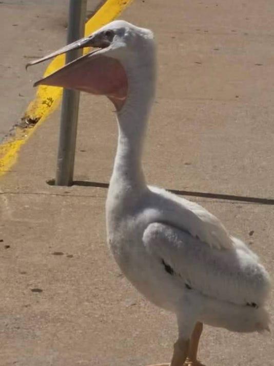 636060032433657771-pelican-4.jpg
