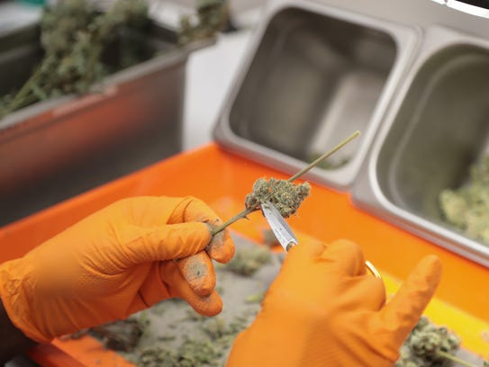 Rod McClelland trims marijuana at Canndescent in Desert