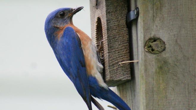 A bluebird brings home a little lunch