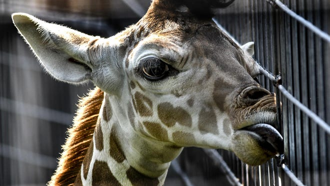 Jasiri, a reticulated giraffe calf, licks the moisture off some of the fencing around its exhibit Saturday at Lee Richardson Zoo. The calf received its name Saturday from his father, Juani, who chose the name through an enrighment device created by the zoo's staff. The naming was part of a giraffe celebration at the zoo ranging from a giraffe silhouette scavenger hunt to signing a large birthday card. Jasiri was born on Aug. 7.