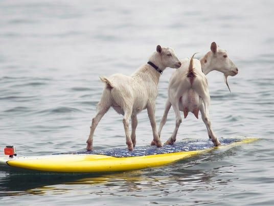 Odd Surfing Goats_Wage.jpg