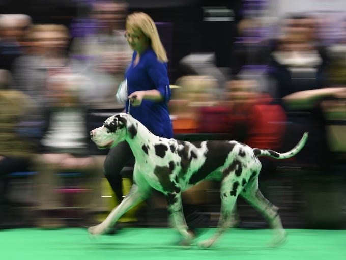 Great Danes are judged on the first day of the Crufts