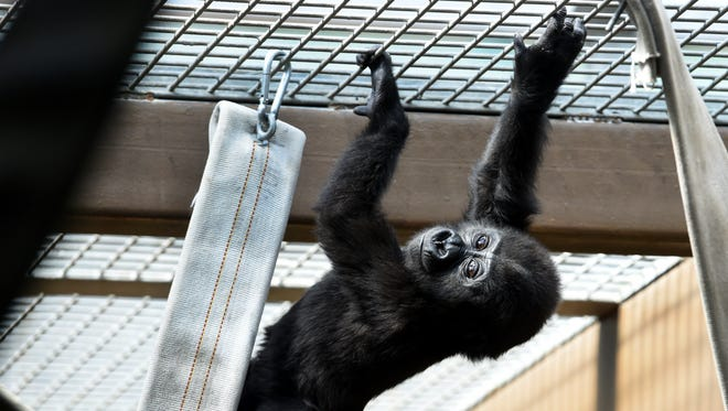 Ubuntu, one of Zoo Knoxville's two Western lowland gorilla babies playing in their cage Tuesday, May 31, 2016. They were born at the zoo in the May and June, 2015 and were the first born at a Tennessee park in 30 years.