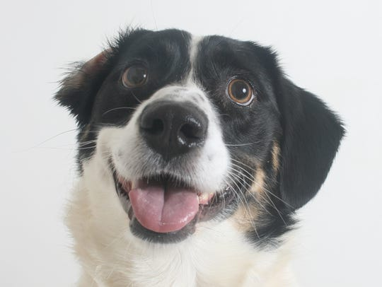 Monica is a 1-year-old, white and black, female border