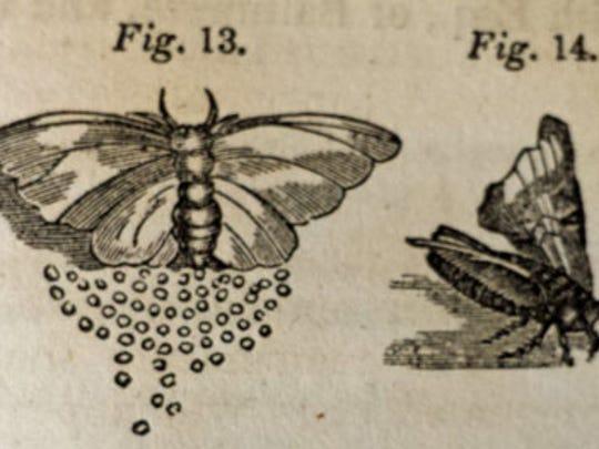 Silk moth and eggs