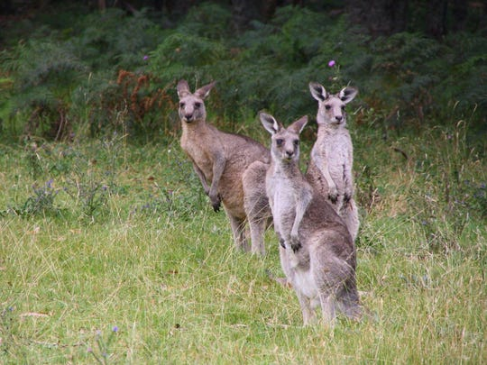 Wild kangaroos can be seen along roadways in Australia.