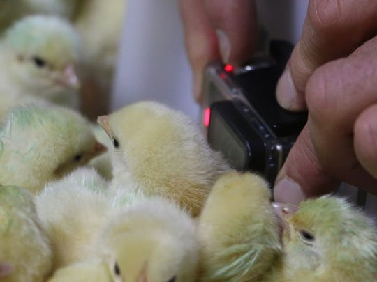 Workers oversee baby chickens at Perdue Farms.