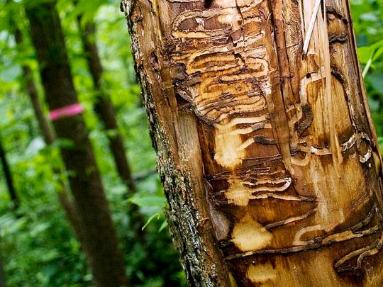 Tracks from emerald ash borers left in a black ash