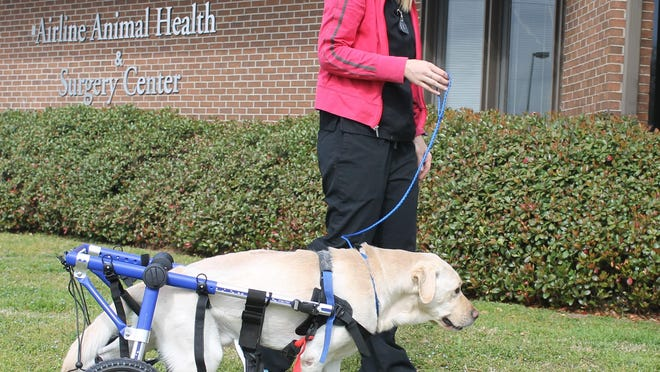 Zeus, a yellow Lab, recently received laser therapy and is using a doggie wheelchair to get around.