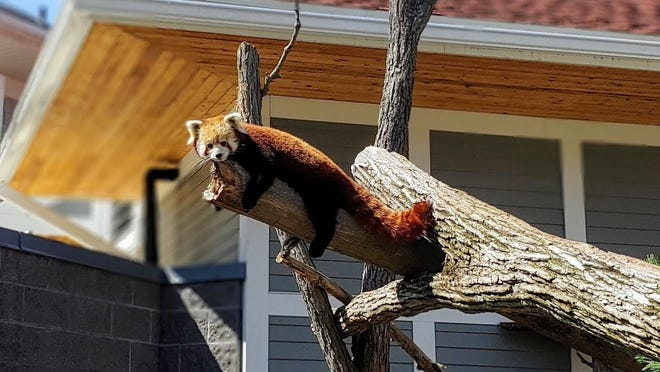 Seneca Park Zoo is home to Starlight, a female red panda. There may be as few as 2,500 red pandas in the wild, according to estimates.