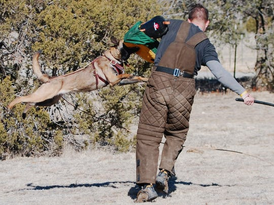 A Belgian Malinois demonstrates in a training exercise the enthusiasm the breed can show for attacking a threat to its owner.