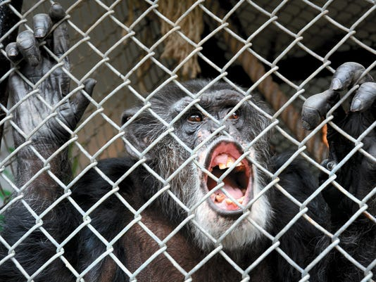 Chimps Legal Rights
