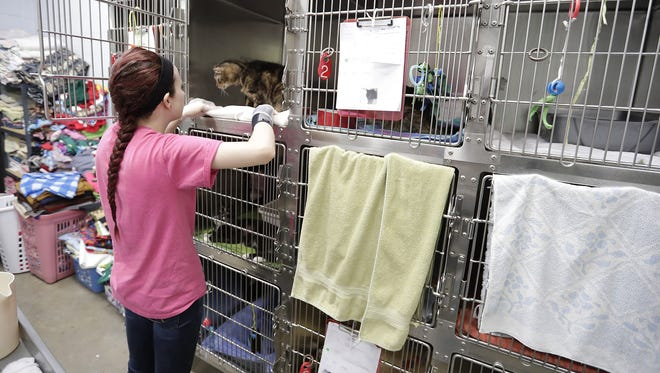 Bay Area Humane Society worker Katelyn Heuser cares for cats in this file photo.