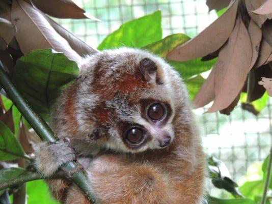 Pygmy Loris Photo