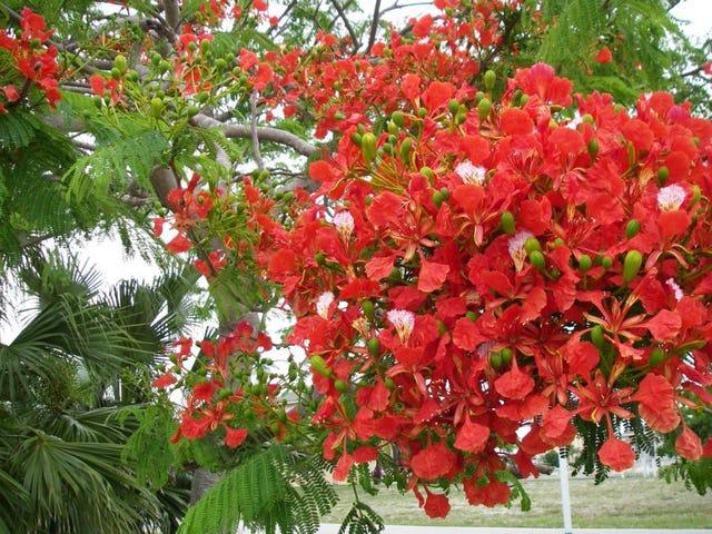 Gardening The Flowering Trees Of Florida