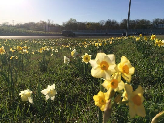 Daffodils glow in the sunshine at the Baxter Avenue exit off Interstate 275. (Susan Alexander/News Sentinel)
