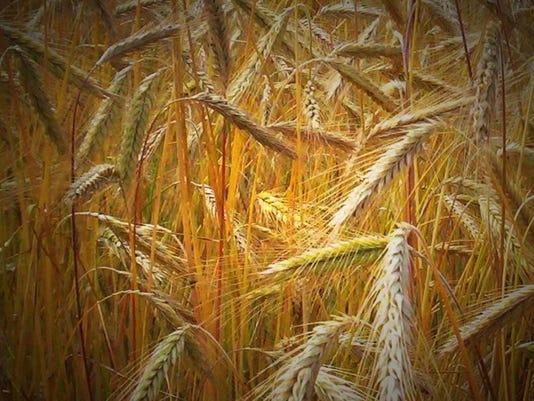 ARN-gen-agriculture-wheat.jpg