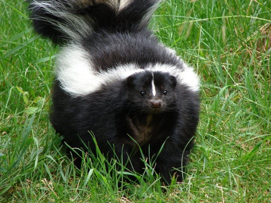 A rabies shot won't protect your pet from all the problems skunks cause, but at least the disease threat will be off the table.