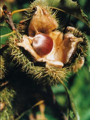 An American chestnut emerges from the spiny bur of a surviving chesnut tree.