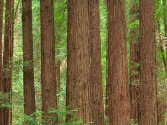 redwoods_sml