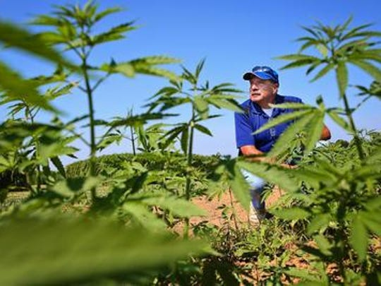 University of Kentucky agronomist Dave Williams looks over the hemp crop at a farm outside Lexington.
